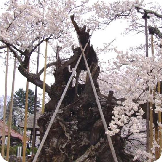 山高神代桜の写真