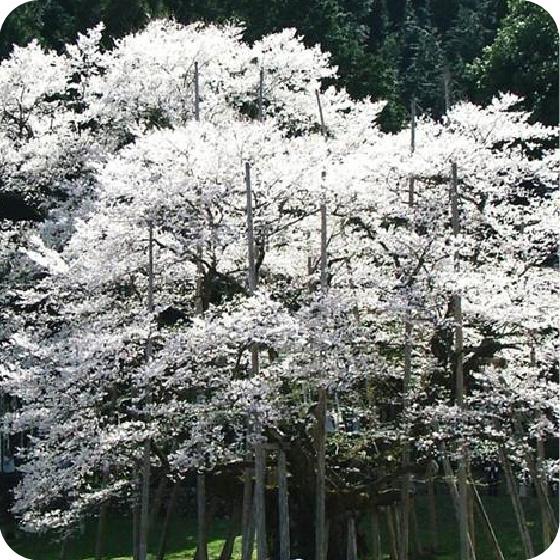 根尾の淡墨桜の写真