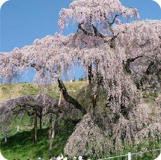 三春の滝桜の写真